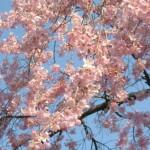 cerisiers-en-fleur-avenuedujapon