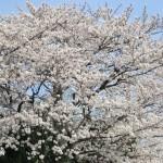 cerisiers-en-fleur-avenuedujapon-3