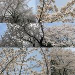 cerisiers-en-fleur-avenuedujapon-4