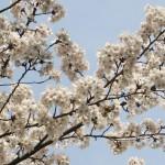 cerisiers-en-fleur-sakura-avenuedujapon-2