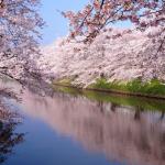 cherry-blossom-sakura-avenuedujapon