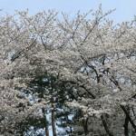 sakura-avenuedujapon