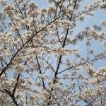 sakura(1)